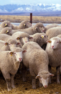 picture of a flock of sheep