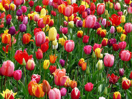 A bed of growing tulips