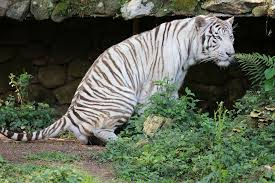 A white tiger in the wild